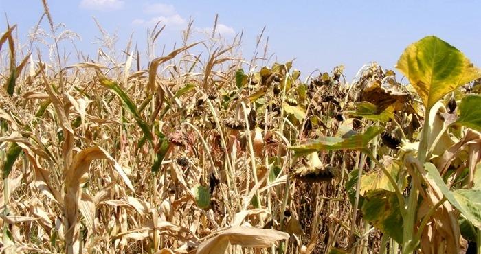Culturile de porumb şi floarea soarelui, afectate de secetă